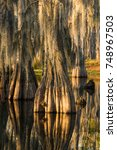 Small photo of Swamp with bald-cypresses at the Sam Houston Jones State Park, Louisiana USA