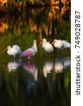 Roseate Spoonbill And White...