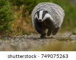 badger running in forest ... | Shutterstock . vector #749075263