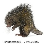 brazilian porcupine  coendou... | Shutterstock . vector #749198557