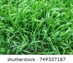 Small photo of Texture grass of the Elymus repens close-up - top view. A lot of green juicy grass stalks with long leaves