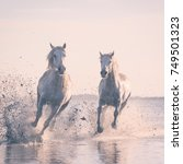 Small photo of Beautiful white horses galloping on the water at soft sunset light, Parc Regional de Camargue, Bouches-du-rhone department, Provence - Alpes - Cote d'Azur region, south France