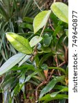 Small photo of aeschynanthus tree trunk and leaf tropical tree