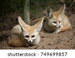 fennec fox  vulpes zerda ....   Shutterstock . vector #749699857