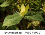 Trillium Yellow  Endangered...