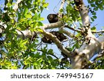 Small photo of endemic to Sulawesi bear cuscus, Ailurops ursinus,Tangkoko National Park, Sulawesi, Indonesia