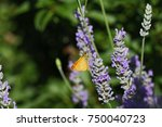 Small photo of Orange skipper butterfly possibly small, Essex or lulworth skipper Latin name thymelicus sylvestris, lineola or acteon from the hesperiidae family feeding on lavender flowers in Italy