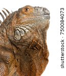 Close Up On A Green Iguana  ...