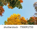 Golden Leaves On Tree Tops In...