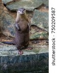 Asian Small Clawed Otter In Th...