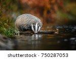 badger running in forest ... | Shutterstock . vector #750287053