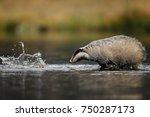 badger running in forest ... | Shutterstock . vector #750287173