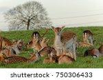 deer in dyrham park  england | Shutterstock . vector #750306433