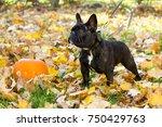 black french bulldog puppy... | Shutterstock . vector #750429763