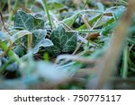 Frost Covered Wild Ivy Leaves...
