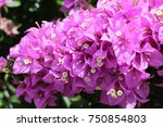 a bunch of pink bougainvilleas... | Shutterstock . vector #750854803