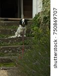 Small photo of Black and white dog with a red lead sitting on the stairs of the cottage