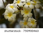 champa white  the symbol of... | Shutterstock . vector #750900463