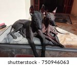 two peruvian hairless dogs | Shutterstock . vector #750946063