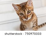 Stock photo bengali kitten bengali kitten with a funny face a kitten looks after a toy 750970333