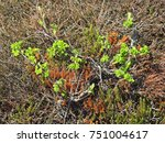Small photo of Young twigs of Ramanas rose grow amid of Black Crowberries in a dune slack on the North sea island of Sylt