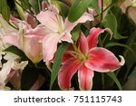 Light Pink Lily And Dark Pink...