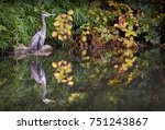 great blue heron in... | Shutterstock . vector #751243867