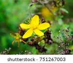 Flower Of St. John's Wort Or...