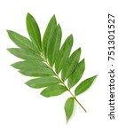 green leaf of dimocarpus longan ... | Shutterstock . vector #751301527