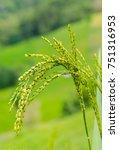 Small photo of Tree rice, Early rice, rice