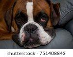Dog Breed German Boxer