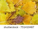 Fallen Leaves Of White Poplar....
