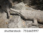 False Gharial  / False Gharial  is crocodile species Tomistoma  Schlegelii , long snout , found in Malaysia and Indonesia