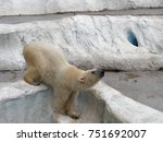Small photo of Young white polar bear climbing on artificial ice rock with head facing down in a zoo waiting to be feed with concepts of power, strength, acclaim and explode an anger