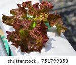 young red oak  green oak ... | Shutterstock . vector #751799353