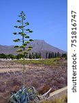 Small photo of Agave americana (Century plant,Blue agave,American aloe) in bloom in Adeje,Tenerife, Canary Islands,Spain.