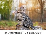 Stock photo domestic bengal cat outside pet on the nature background brown spotted tabby short haired kitten 751887397