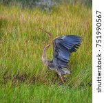 Small photo of Purple heron(Ardea purpurea), water bird or wader, taking off action from grassland in Asian tropical country, Thailand. Beautiful scene of wild animal in natural habitat with nature green background