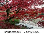 Japanese Maple Trees In A Park...