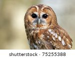 A Close Portrait Of A Tawny Owl