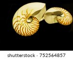 Small photo of Spiral mollusk - Allonautilus scrobiculatus