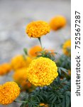 Small photo of Marigolds (Tagetes erecta, Mexican marigold, Aztec marigold, African marigold)