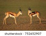 springbok antelopes  antidorcas ... | Shutterstock . vector #752652907