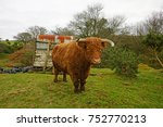 highland cow with horns at odd...