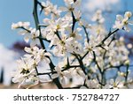 white apple flower | Shutterstock . vector #752784727