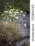 Small photo of Bog Cottongrass in the Highlands of Scotland.