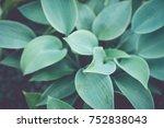 Beautiful Leaves Of Hosta Plan...