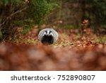 badger running in forest ... | Shutterstock . vector #752890807