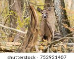 Small photo of Whitetail doe in the fall