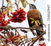 Small photo of The American Robin on rowanberry tree in forest of Thornhill, Canada, November 3, 2017